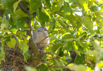 Pigeon chick in a nest in an apple tree in sunlight in summer