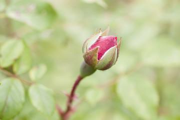 Rose bud on floral background