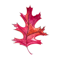 Autumn leaf - Black oak. Autumn maple leaf isolated on a white background. Watercolor illustration.