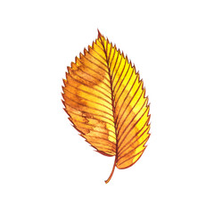 Autumn leaf - Elm. Autumn maple leaf isolated on a white background. Watercolor illustration.