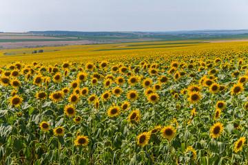yellow sunflowers in huge fields under the scorching summer sun