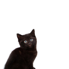 Playful cheerful kitten. British breed. On a white background. Place to insert text. For advertising, banners and messages. For veterinary clinics, sales of feed and animal accessories.