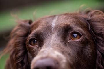 Gros plan sur les yeux marron d'un chien Springer anglais