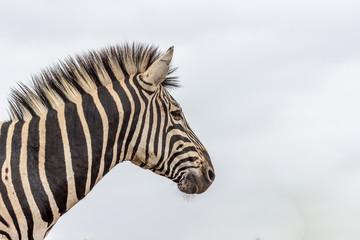 Burchels Zebra in Pilanesberg National park