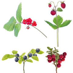 set of four isolated forest ripe berries
