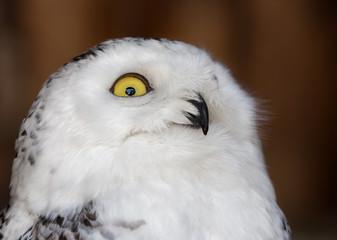 Fotoväggar - white and black portrait of polar owl