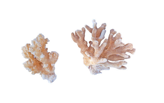 color coral isolated on white background