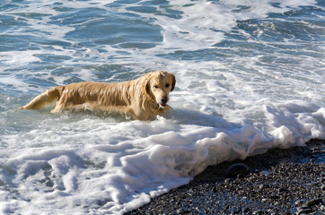 honey color golden retriever that swims, runs and plays in the waves of the sea