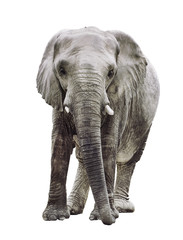an elephant isolated on white background, a very large plant-eating mammal with a prehensile trunk, long curved ivory tusks, and large ears, native to Africa and southern Asia. It is the largest livin