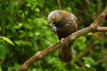 Kaka - Nestor meridionalis - endemic parakeet living in forests of New Zealan