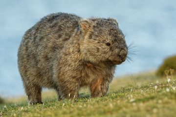 Vombatus ursinus - Common Wombat in the Tasmanian scenery, eating grass in the evening on the island near Tasmania