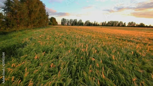 Fototapete Rural landscape, wheat field at sunset, panning
