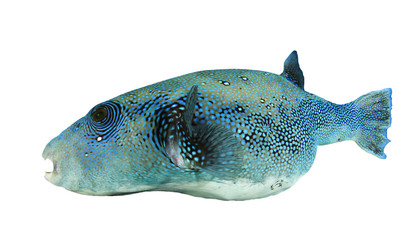 Pufferfish puffer fish isolated on white background
