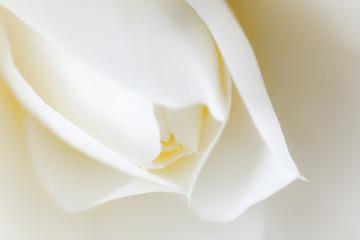 白椿のクローズアップ