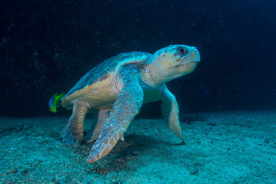 Large Loggerhead turtle gets cleaned of parasites by fish, Isla Mujeres, Quintana Roo, Mexico