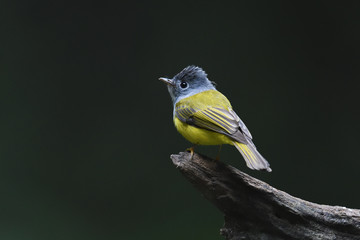 Grey-headed canary flycatcher, bird China