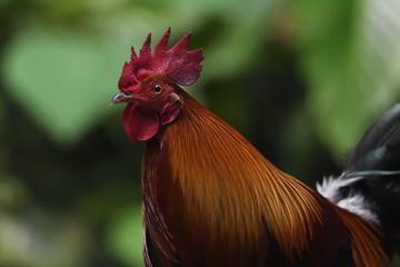 Portrait of red jungle fowl bird China