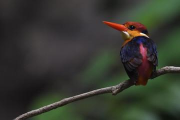 Oriental dwarf kingfisher bird back china