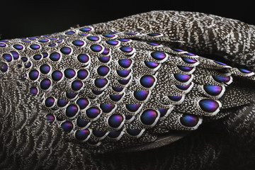 Grey peacock-pheasant bird close up feathers china