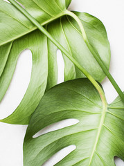 Monstera leaves, close up