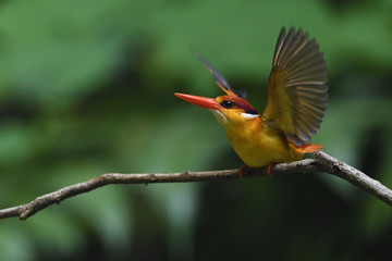 Oriental dwarf kingfisher bird China
