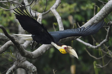 Wreathed hornbill bird China