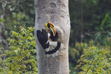 Great hornbill bird sitting on a tree trunk in China