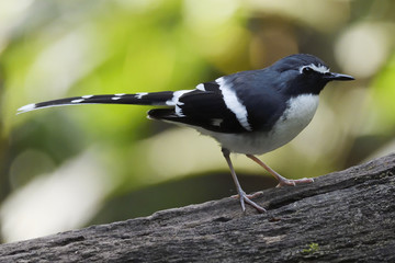 Slaty-backed forktail bird sitting in china