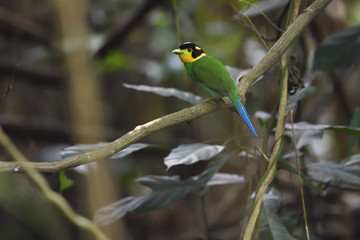 Long-tailed broadbill bird on a branch china