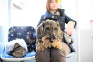Cane bassotto seduto sul BUS