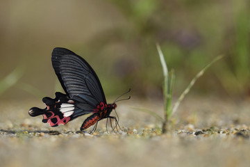Chinese Butterfly red with big black wings