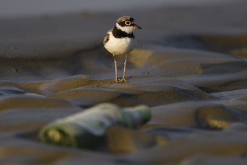 Little ringed plover with bottle