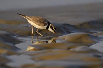 Little ringed plover bird