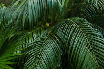 Palm leaves background photo. oncept of foliage and exotic.