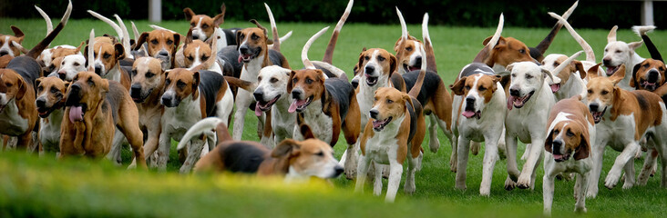 Large group of fox hounds at country show. Wall mural