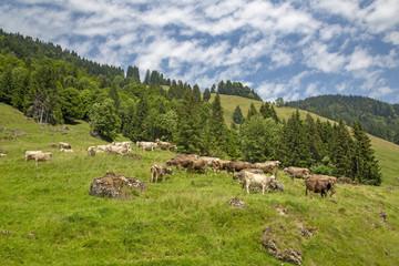 Allgäu - Kühe - Berge - Alpen - Herde - Balderschwang