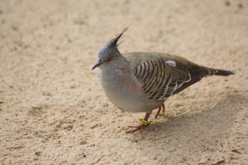 Crested Pigeon (Ocyphaps lophotes).