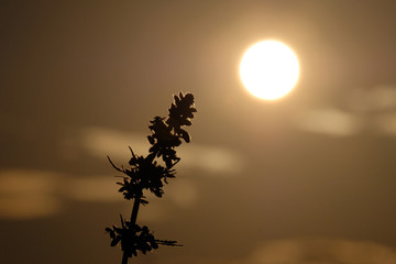 Silhouettesof the top of a young hemp against the background of the evening sky. Cannabis leaned toward the sun. Concept for background on the legalization or prohibition of marijuana