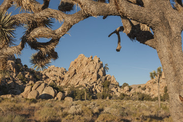 Joshua tree frames rocks