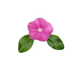 A rosy periwinkle flower, Catharanthus roseus, with leaves isolated on a white background