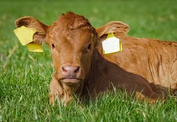Fototapete - Frühlingsmotiv- junges, braunes Kalb liegt im Gras