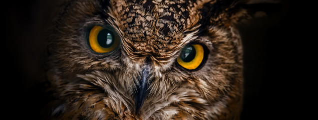 Fotobehang Uil Yellow eyes of horned owl close up on a dark background.