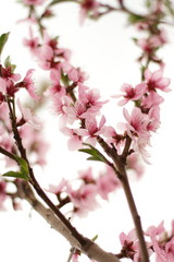 blooming peach tree, fresh flowers in spring