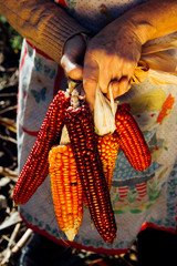 A woman holds a bunch of ears of corn