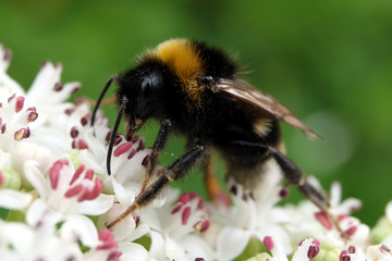 Bumblebee on blossom - Stockfoto