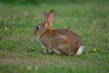 Rabbit sitting in a meadow