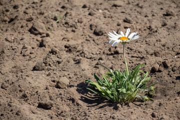 Search Photos White Desert Flowers