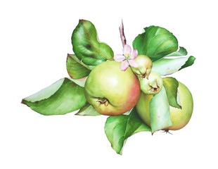 Watercolor hand drawn apple tree branch with apples, flower and leaves