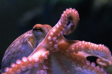 Octopus on dark background. Close up