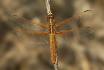 Dragonfly macro close-up.